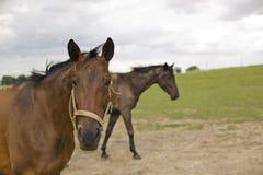 Paarden in het Weiland van de Lente Royalty-vrije Stock Foto's