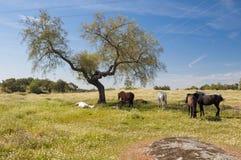 Paarden in het weilandenhoogtepunt van eiken bomen Zonnige de lentedag in Extremadura, Spanje Stock Foto