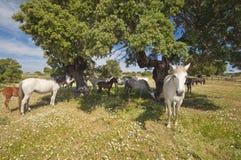 Paarden in het weilandenhoogtepunt van eiken bomen Zonnige de lentedag in Extremadura, Spanje Royalty-vrije Stock Afbeeldingen