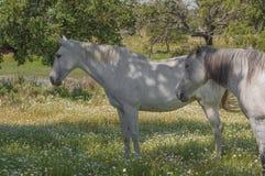 Paarden in het weilandenhoogtepunt van eiken bomen Zonnige de lentedag in Extremadura, Spanje Stock Afbeeldingen