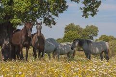 Paarden in het weilandenhoogtepunt van eiken bomen Zonnige de lentedag in Extremadura, Spanje Stock Foto's