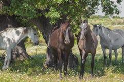 Paarden in het weilandenhoogtepunt van eiken bomen Zonnige de lentedag in Extremadura, Spanje Stock Afbeelding
