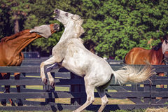 Paarden in Hilton Head Island Stock Foto