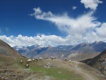 Paarden in Himalayagebergte Royalty-vrije Stock Afbeeldingen