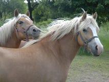 Paarden IV van Haflinger stock foto