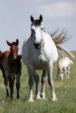 Paarden - (lange) Merrie en Baby Stock Foto