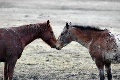 Paarden Liefde Stock Foto's
