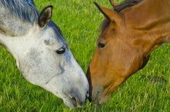 Paarden in Liefde Stock Foto's