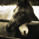Paarden in liefde Royalty-vrije Stock Foto
