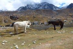 Paarden in Lobuche, Everest-trek van het Basiskamp, Nepal royalty-vrije stock foto