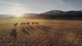 Paarden lopen vrij in weide met sneeuw afgedekte bergachtergrond stock footage