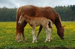 Paarden, mamma met drie dagenveulen Stock Afbeeldingen