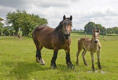 Paarden, merrie en veulen Stock Afbeelding