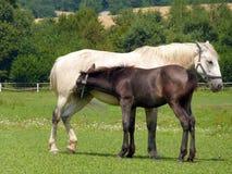 Paarden - Merrie en Veulen het de borst geven Royalty-vrije Stock Afbeeldingen
