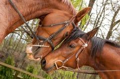 Paarden met hoofden wat betreft Stock Foto