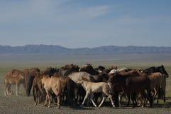 Paarden in Mongolië Royalty-vrije Stock Foto's