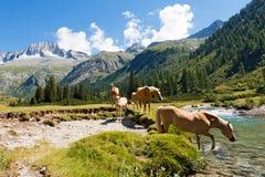 Paarden in Nationaal Park van Adamello Brenta - Italië Stock Foto's