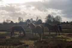 Paarden in Nieuw Forrest United Kingdom stock foto's