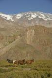 Paarden onder San Jose Volcano. Royalty-vrije Stock Fotografie