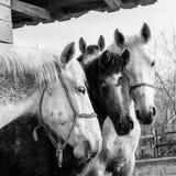 Paarden op de boerderij Royalty-vrije Stock Afbeeldingen