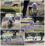 Paarden op de gebieden Royalty-vrije Stock Afbeeldingen
