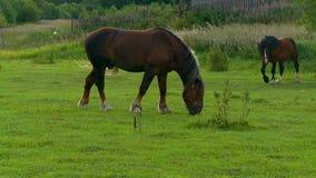 Paarden op de tentoonstellingsveiling stock video