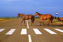 Paarden op de weg Stock Afbeeldingen