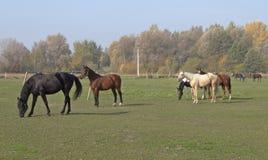 Paarden op de weide Royalty-vrije Stock Afbeeldingen