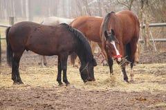 Paarden op de weide. Stock Foto