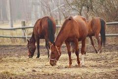 Paarden op de weide. Stock Afbeelding