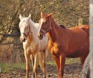 Paarden op de weide, Royalty-vrije Stock Foto