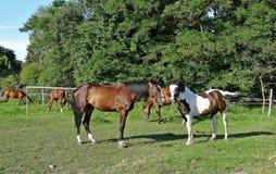Paarden op de weide, Lodz, Polen Royalty-vrije Stock Afbeelding
