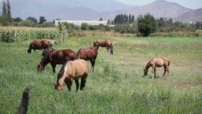 Paarden op een gebied stock video