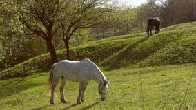 Paarden op een gebied, landschap stock footage