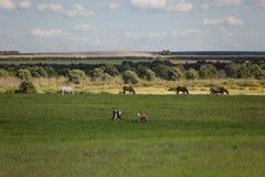 Paarden op een groen gebied royalty-vrije stock foto's