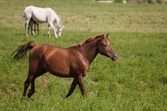 Paarden op een groen gebied royalty-vrije stock afbeelding