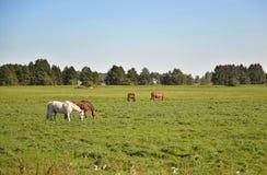 Paarden op een groene weide stock foto's