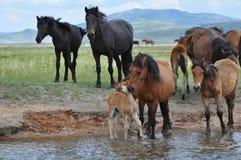 Paarden op een het water geven plaats Royalty-vrije Stock Fotografie