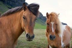 Paarden op een Ijslands landbouwbedrijf stock foto's