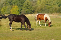 Paarden op een landbouwbedrijf in de de herfstweide Royalty-vrije Stock Foto's