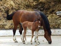 Paarden op een landbouwbedrijf in het dorp Zurchersmuhle stock afbeeldingen