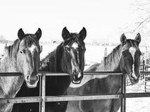 Paarden op een omheining Royalty-vrije Stock Afbeeldingen
