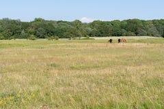 Paarden op een weide Royalty-vrije Stock Foto