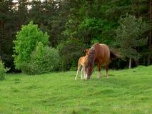 Paarden op een weide Stock Afbeeldingen