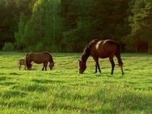 Paarden op een weiland Royalty-vrije Stock Foto's