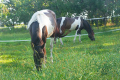 Paarden op een weiland Stock Afbeelding