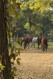 Paarden op Gebied Royalty-vrije Stock Foto's