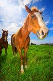 Paarden op Gebied Suny royalty-vrije stock afbeelding