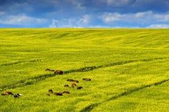 Paarden op Geel raapzaadgebied Mooie scène, met paarden in het midden van gouden geel canola, raapzaad of koolzaadgebied op de zo Stock Fotografie