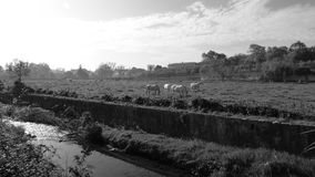 Paarden op het gebied Stock Foto